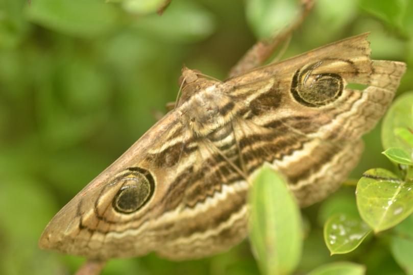 Indian Silk Moth